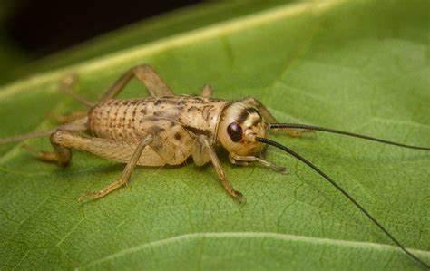 Are Crickets Harmful?